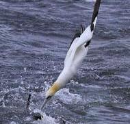 rt3-gannet