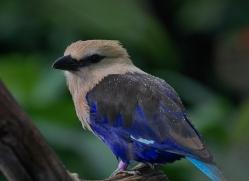 blue-bellied-roller-5546-copyright-photographers-on-safari-com