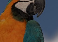 blue-yellow-macaw-5497-copyright-photographers-on-safari-com