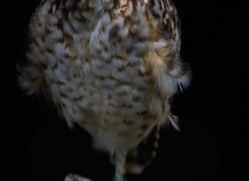 burrowing-owl-5550-copyright-photographers-on-safari-com