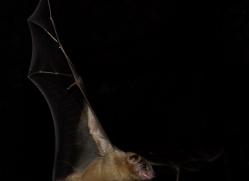 fruit-bat-5492-copyright-photographers-on-safari-com