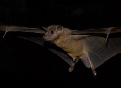 fruit-bat-5493-copyright-photographers-on-safari-com