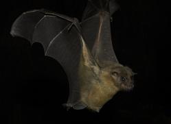 fruit-bat-5520-copyright-photographers-on-safari-com