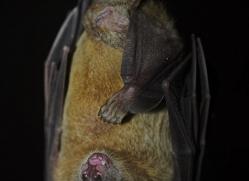 fruit-bat-5522-copyright-photographers-on-safari-com