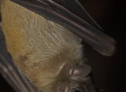 fruit-bat-5529-copyright-photographers-on-safari-com