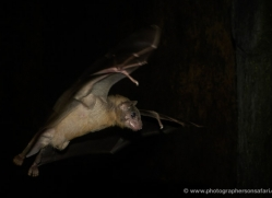 fruit-bat-553-5-copyright-photographers-on-safari-com