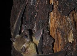 fruit-bat-5534-copyright-photographers-on-safari-com