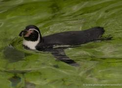 humboldt-penguin-5498-copyright-photographers-on-safari-com