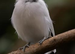 bali-starling-5487-copyright-photographers-on-safari-com-2