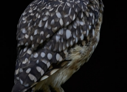 burrowing-owl-5548-copyright-photographers-on-safari-com