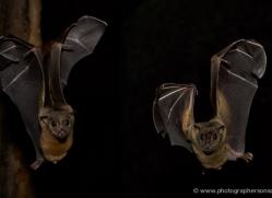 fruit-bat-549-5-copyright-photographers-on-safari-com