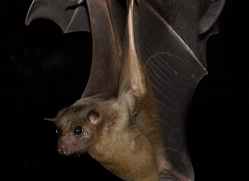 fruit-bat-5494-copyright-photographers-on-safari-com