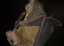 fruit-bat-5527-copyright-photographers-on-safari-com