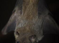 fruit-bat-5528-copyright-photographers-on-safari-com