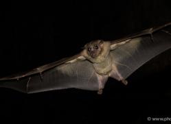 fruit-bat-5530-copyright-photographers-on-safari-com