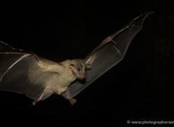fruit-bat-5532-copyright-photographers-on-safari-com