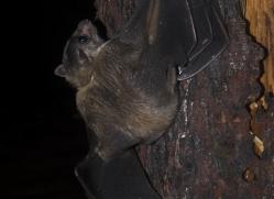 fruit-bat-5533-copyright-photographers-on-safari-com