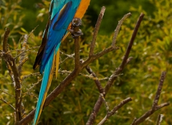 Blue & Yellow Macaw 2014-1copyright-photographers-on-safari-com