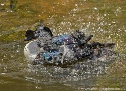 Comb Duck 2014-1copyright-photographers-on-safari-com