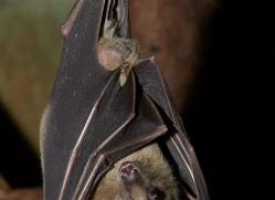 Fruit Bat 2014-3copyright-photographers-on-safari-com