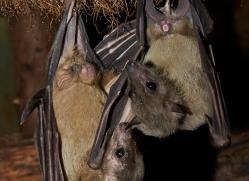 Fruit Bat 2014-4copyright-photographers-on-safari-com