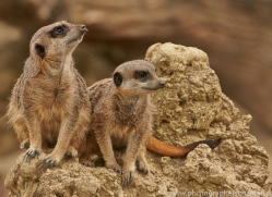 Mongoose 2014-1copyright-photographers-on-safari-com