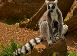 Ring Tailed Lemur 2014-1copyright-photographers-on-safari-com