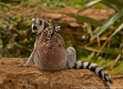 Ring Tailed Lemur 2014-2copyright-photographers-on-safari-com