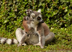 Ring Tailed Lemur 2014-3copyright-photographers-on-safari-com