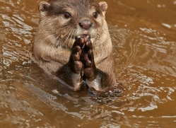 Short Clawed Otter 2014-1copyright-photographers-on-safari-com