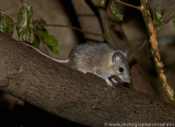 Spiny Mouse 2014-1copyright-photographers-on-safari-com