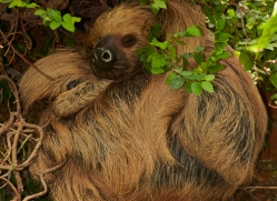 Two Toed Sloth 2014-2copyright-photographers-on-safari-com