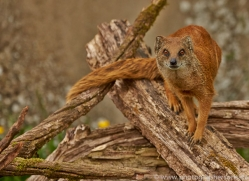 Yellow Mongoose 2014-2copyright-photographers-on-safari-com