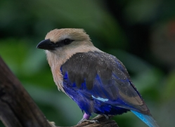 blue-bellied-roller-5546-copyright-photographers-on-safari-com