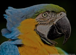 blue-yellow-macaw-5547-copyright-photographers-on-safari-com