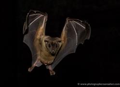 fruit-bat-5496-copyright-photographers-on-safari-com