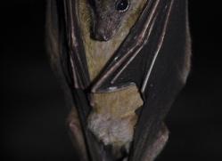 fruit-bat-5521-copyright-photographers-on-safari-com
