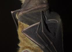 fruit-bat-5523-copyright-photographers-on-safari-com