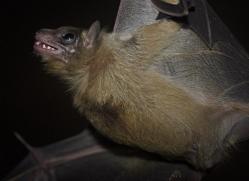 fruit-bat-5525-copyright-photographers-on-safari-com
