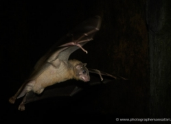 fruit-bat-553-5-copyright-photographers-on-safari-com