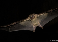 fruit-bat-5530-copyright-photographers-on-safari-com