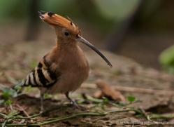 hoopoe-5488-copyright-photographers-on-safari-com