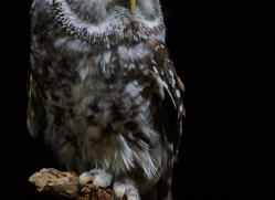 owl-5554-copyright-photographers-on-safari-com