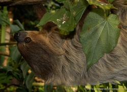 sloth-5536-copyright-photographers-on-safari-com