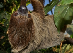 sloth-5537-copyright-photographers-on-safari-com