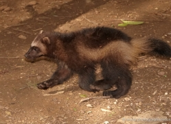wolverine-550-5-copyright-photographers-on-safari-com