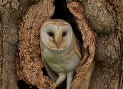 Barn Owl Owl 2014-23copyright-photographers-on-safari-com
