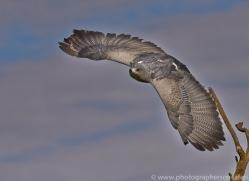 Chilean Blue Eagle 2014-1copyright-photographers-on-safari-com