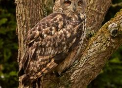 Eagle Owl 2014-11copyright-photographers-on-safari-com