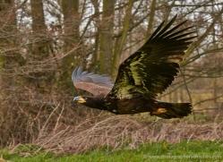 bald-eagle-juvenile-585-bedford-copyright-photographers-on-safari-com